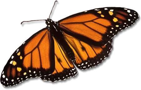 monarchbutterfly.jpg.28679a2e4afcbb2287f362da90482cf6.jpg